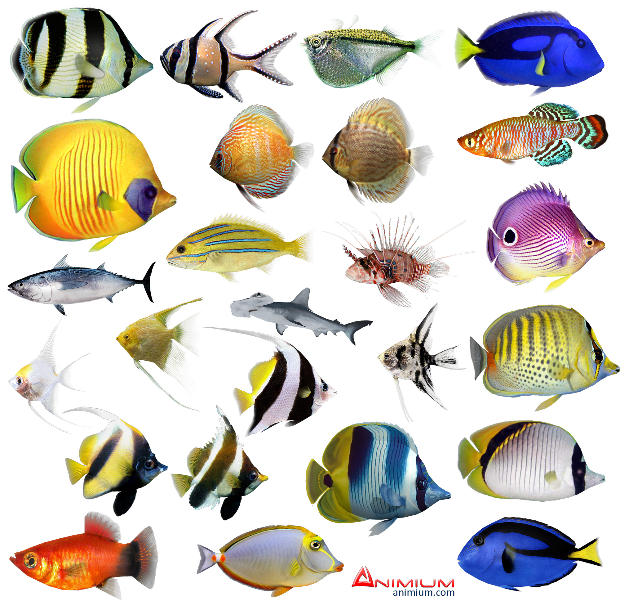 Tropical Fish 3d Model Collection on Realistic Tropical Fish Clip Art