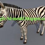 Zebra 3d animal model