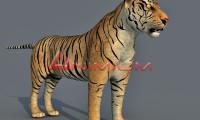 tiger 3d model render