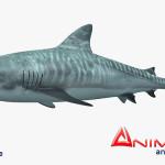 Tiger Shark 3d model