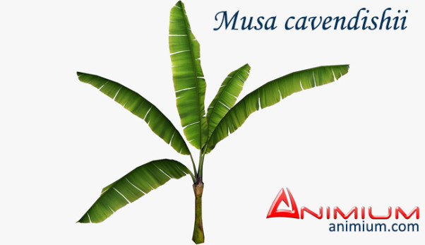 Musa cavendishii 3d model
