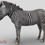 Zebra 3d model