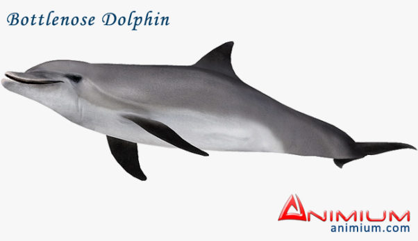 Bottlenose Dolphin 3d model