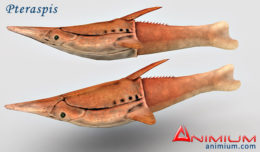 Pteraspis 3d model