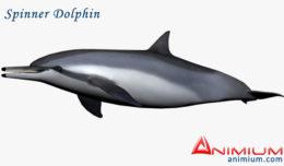 Spinner Dolphin 3d model