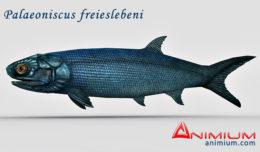Palaeoniscus 3d model