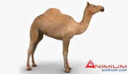 Camel 3d model